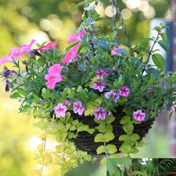 Arrington Seasonal Hanging Baskets